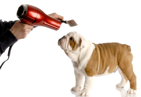 blow dryer: dog grooming - hands brushing nine week old english bulldog