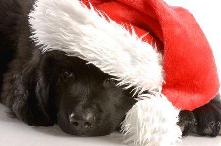 black and white newfoundland dog: newfoundland puppy wearing santa hat - twelve weeks old Stock Photo
