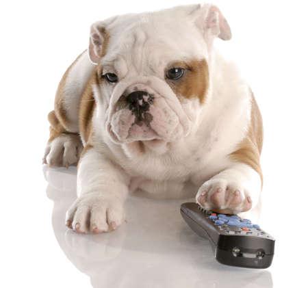 inactive: dog with remote control - english bulldog nine weeks old