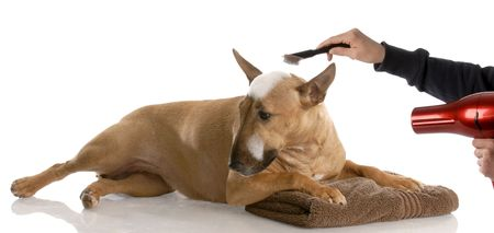smut: dog bath time - bull terrier getting groomed (red smut color)  Stock Photo