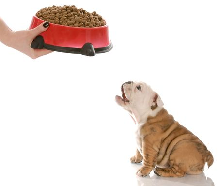 large dog: english bulldog puppy barking in anticipation while waiting to be feed