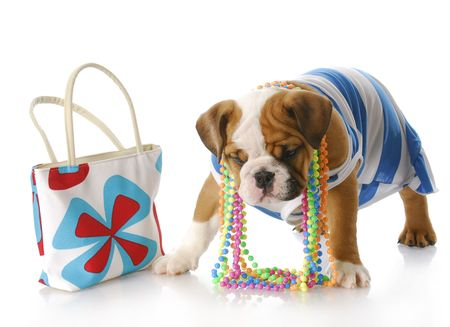 adorable english bulldog puppy dressed up standing beside purse with reflection on white background Stock Photo - 7558526
