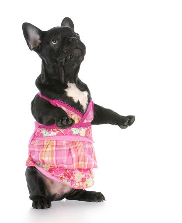 french bulldog wearing pink dress standing on back legs with reflection on white background Stock Photo - 7949566