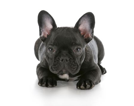 french bulldog puppy laying down with reflection on white background photo