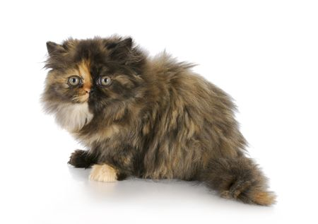 persian kitten sitting on white background - tortoise shell color - 12 weeks old photo