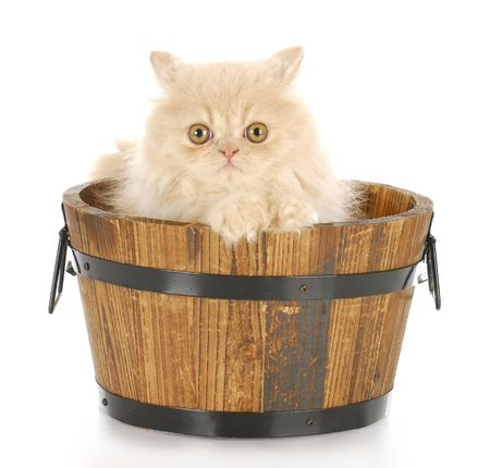 cream persian kitten sitting in wood wash basin looking at viewer with reflection on white background Stock Photo