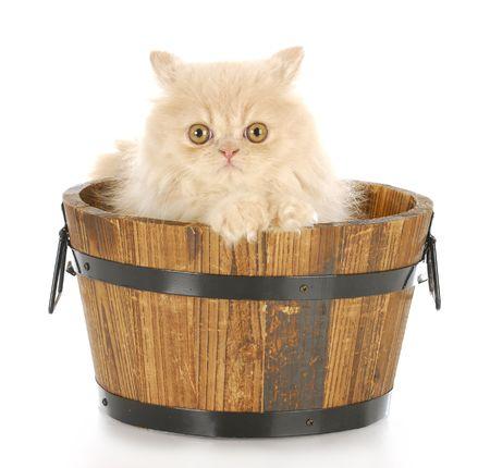 crema gatito persa, sentado en el lavabo de madera que mirando visor con una reflexión sobre fondo blanco