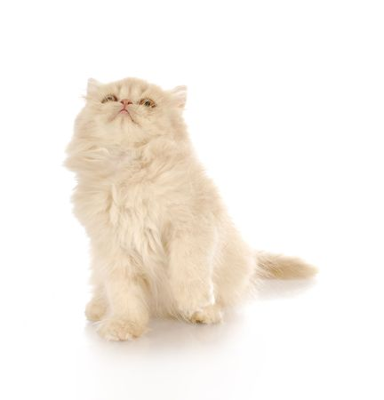 cat grooming: cream persian sitting looking up with reflection on white background