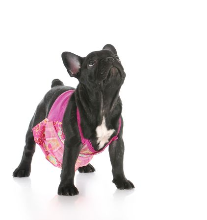 female french bulldog wearing pink dress looking up with reflection on white background Stock Photo - 7995944