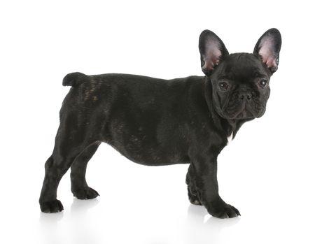 wrinkely: black brindle french bulldog standing with reflection on white background