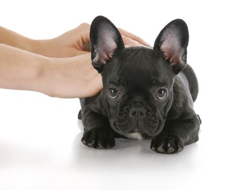 hands teaching french bulldog the command down with reflection on white background Stock Photo - 7995947