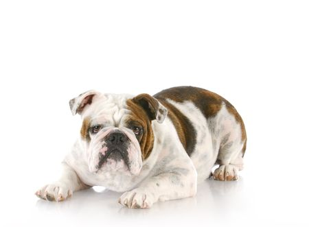 english bulldog laying down looking at viewer with reflection on white background photo