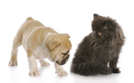 english bulldog puppy sniffing backside of persian kitten with reflection on white background photo