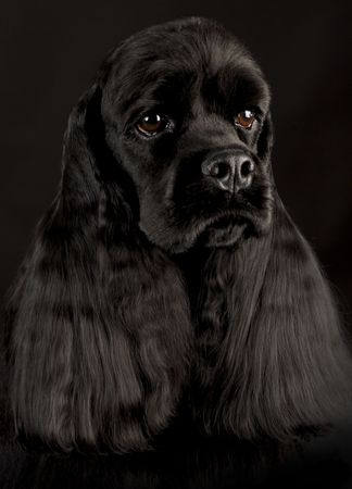 show dog: cocker spaniel head portrait on black background