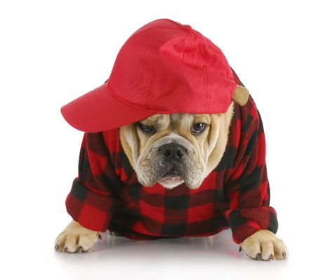 english bulldog puppy wearing plaid shirt and trucker hat with reflection on white background Stock Photo - 8053358