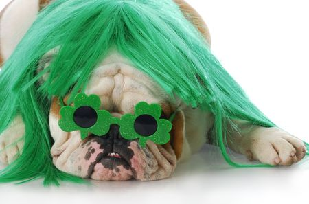 lucky clover: english bulldog wearing green wig and shamrock glasses with reflection on white background Stock Photo