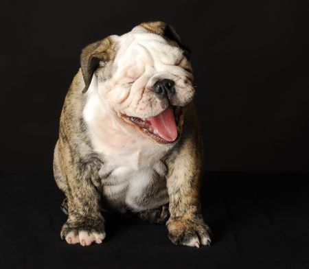 hilarious: english bulldog puppy with mouth open laughing on black background