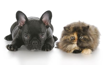 looking at viewer: persian kitten and french bulldog puppy laying down looking at viewer with reflection on white background