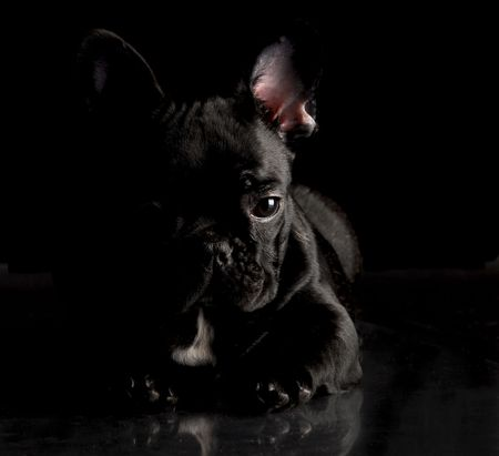 black french bulldog laying down on black background photo