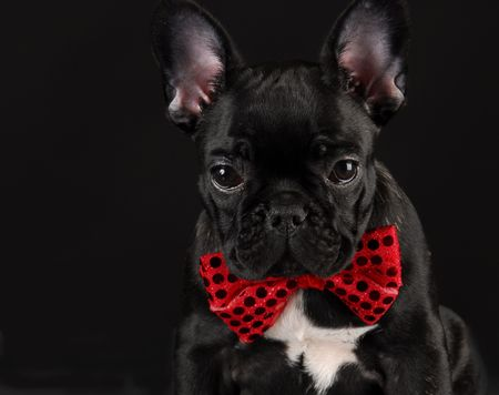 french bulldog wearing red bowtie on black background photo