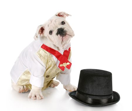 bulldog puppy wearing formal shirt sitting beside black top hat with reflection on white background photo