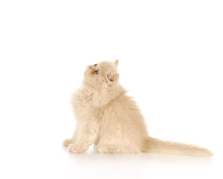cat grooming: adorable persian kitten sitting looking up with reflection on white background