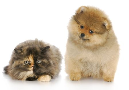 pomeranian puppy and persian kitten looking at viewer with reflection on white background photo
