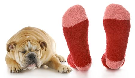 awful: bulldog puppy with disgusted expression laying beside owners stinky feet