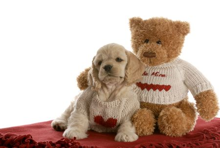 cocker: american cocker spaniel puppy being loved by stuffed teddy bear on white background