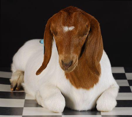 boer: cabra establecen en cuadros piso con fondo negro - raza pura boer sur africano  Foto de archivo