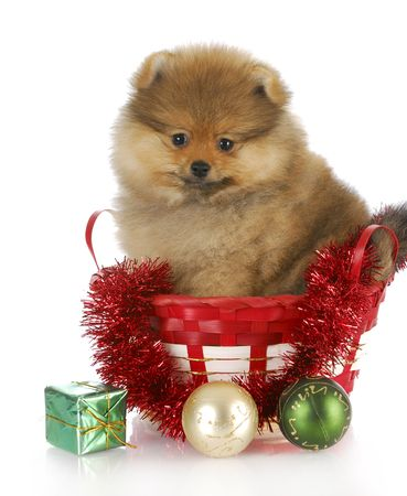 christmas gift: fluffy pomeranian puppy sitting in basket with christmas decorations with reflection on white background