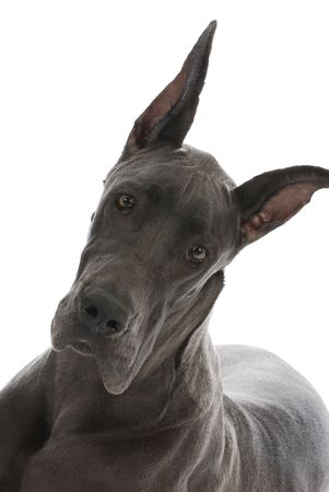 great dane with cropped ears - nine months old photo