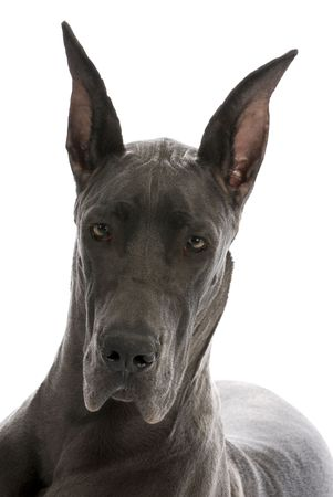 9 months old: great dane puppy portrait - blue colour - 9 months old Stock Photo