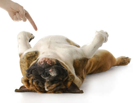 dead animal: english bulldog playing dead with reflection on white background Stock Photo