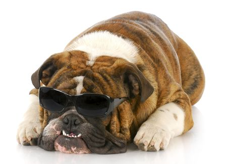 crooked teeth: adorable english bulldog wearing dark sunglasses with crooked teeth on white background