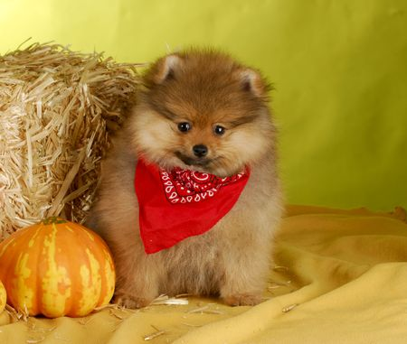 cute pomeranian puppy wearing sitting in autumn setting on yellow background photo