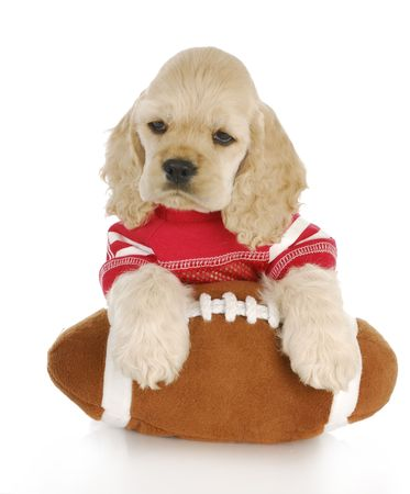 cocker: cocker spaniel puppy wearing red jersey with paws on football Stock Photo