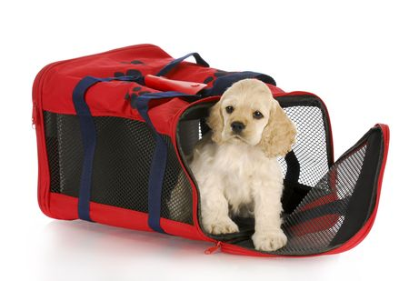 moving crate: cocker spaniel puppy in a red soft sided dog crate bag with reflection on white background Stock Photo