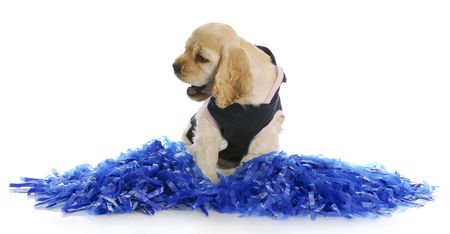 adorable cocker spaniel puppy cheering with cheerleader costume and pompoms photo