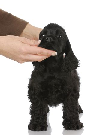 dog training - teaching a cocker spaniel puppy to stand with reflection on white background photo