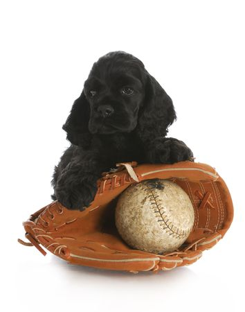 cocker spaniel puppy with baseball glove and leather ball with reflection on white background photo