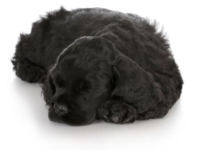 sleep: cocker spaniel puppy sleeping with reflection on white background