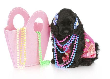 female cocker spaniel puppy wearing pink sitting beside pink purse filled with beads Stock Photo - 8218266