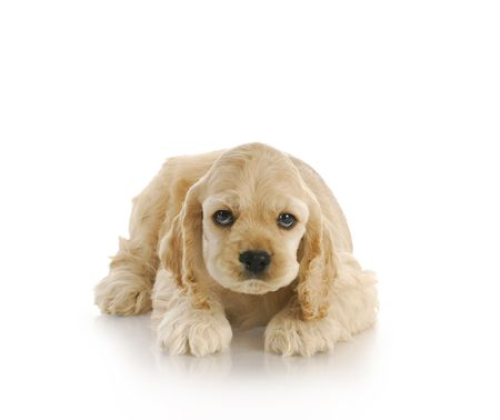 guilty looking puppy looking up - 7 week old american cocker spaniel Stock Photo - 8218260