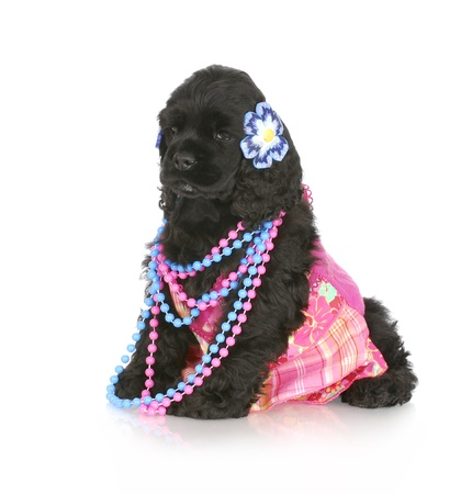 adorable cocker spaniel puppy dressed up like a girl with reflection on white background photo