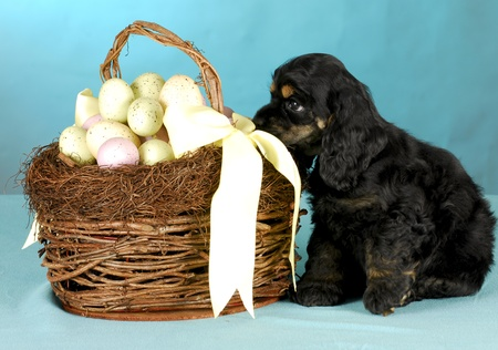 cocker spaniel puppy sitting beside easter basket on blue background photo