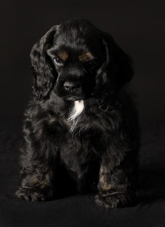 american cocker spaniel: black and tan cocker spaniel puppy sitting on black background Stock Photo
