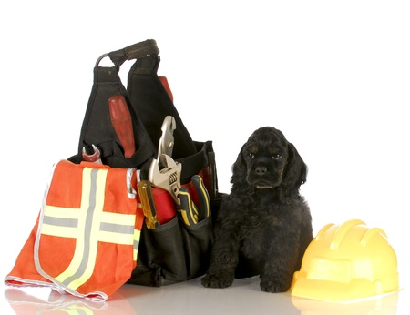 cocker spaniel puppy sitting beside tool pouch and construction worker hat photo