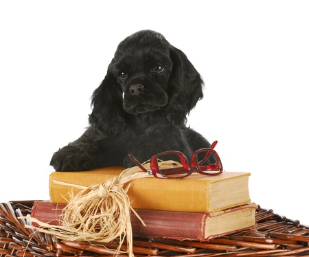 adorable cocker spaniel puppy with books and reading glasses on white background photo
