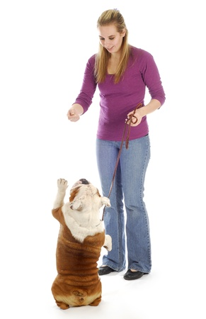 english bulldog being taught how to sit pretty or beg with reflection on white background photo